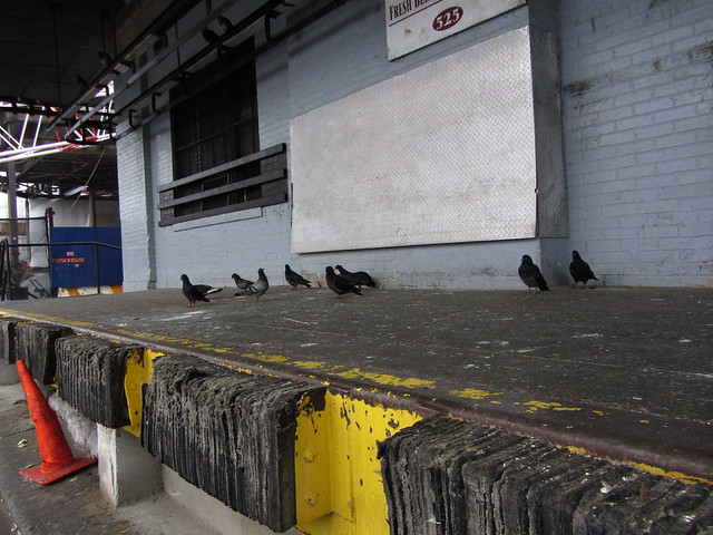 pigeons wait it out