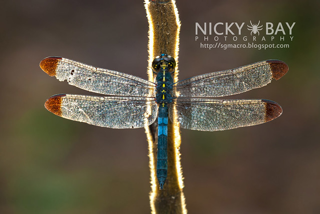 Dragonfly (Anisoptera) - DSC_7971