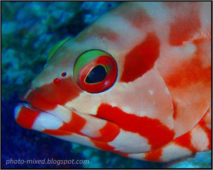 ปลากะรังหน้าแดง
