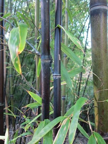 Hakone Japanese Gardens, Saratoga, CA, bamboo IMG_2335
