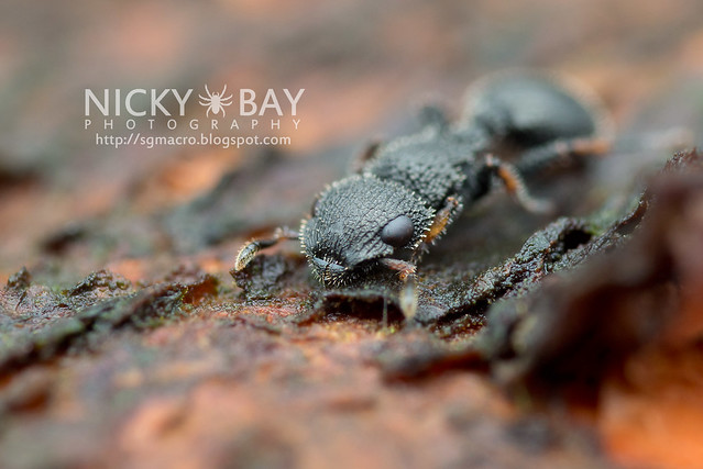 Armored Ant (Cataulacus sp.) - DSC_5056