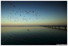 Swan Bay Birds