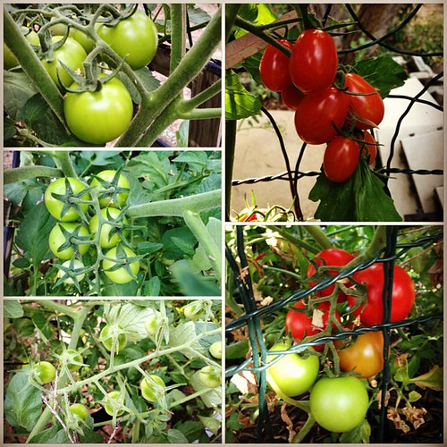 A small selection of our tomatoes, at last count we had about one billion