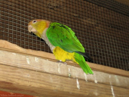 White-bellied caique (2nd of 2 photos) by Coyoty
