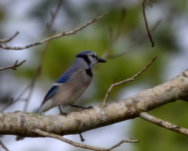 Blue Jay Sweet Shot Tuesday  1-22-13