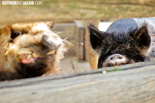 Kunekune Pigs at Willowbank Wildlife Reserve New Zealand Animals | A Guide to South Island New Zealand
