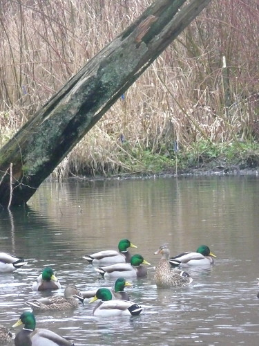 Mallards mix and mingle