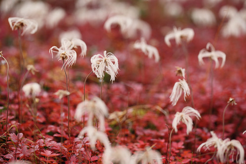 紅葉のチングルマ
