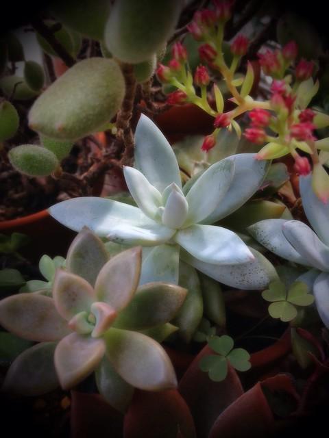 霜の朝 ×Pachyveria 'Exotica'