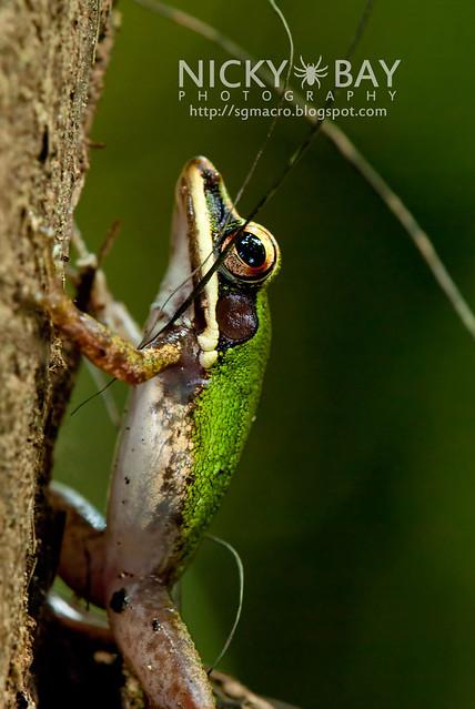 Copper-cheeked Frog (Hydrophylax raniceps) - DSC_7436