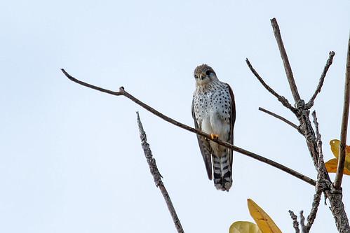 Malagasy Kestrel' (Falco newtoni)