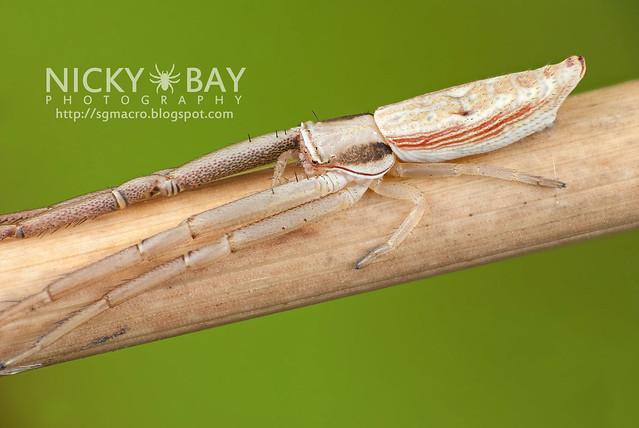 Crab Spider (Thomisidae) - DSC_6682