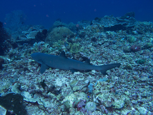 A young grey reef shark sleeping