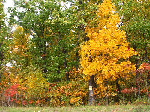 fall foliage with hickory tree