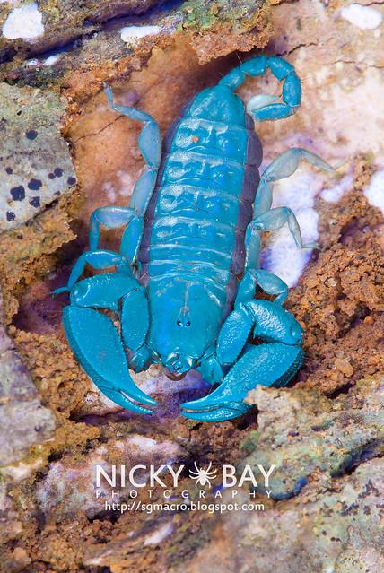 Scorpion (Liocheles australasiae?) - DSC_6033
