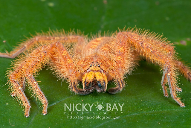Huntsman Spider (Sparassidae) - DSC_5844