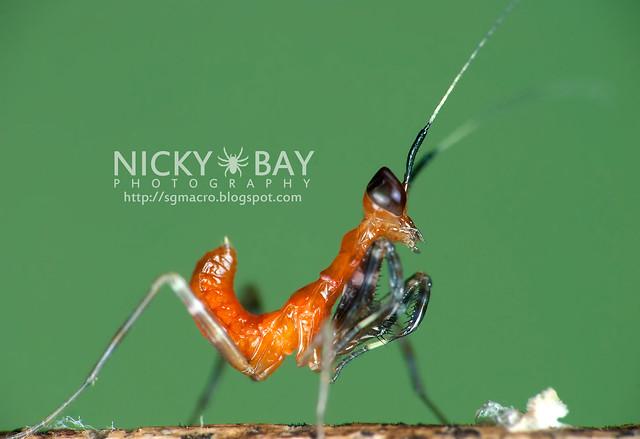 Praying Mantis nymph (Mantodea) - DSC_5384