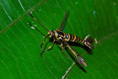 Clearwing Moth (Synanthedon sp.)