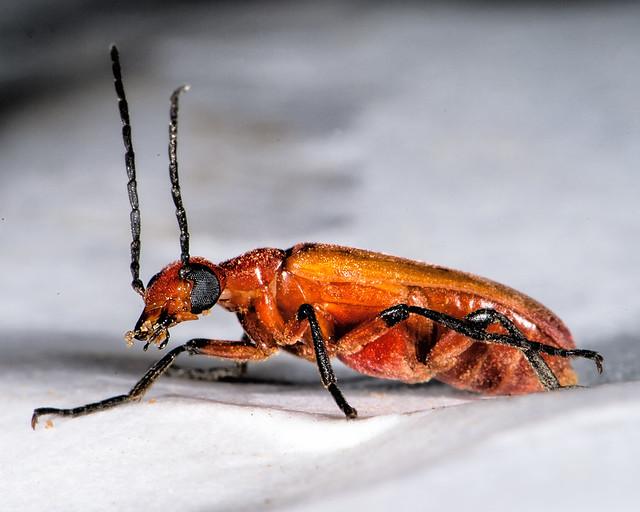 orange and black bug cleaning flickr photo sharing. Black Bedroom Furniture Sets. Home Design Ideas