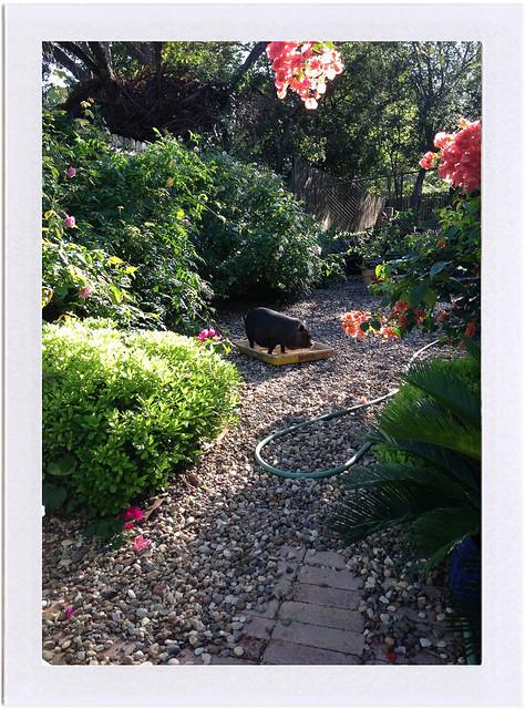 clementine in the garden
