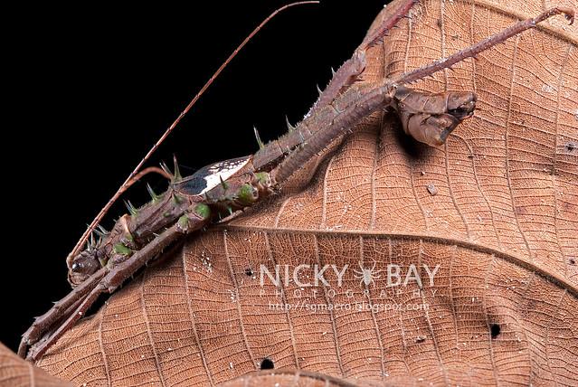 Stick Insect (Phasmatodea) - DSC_2425