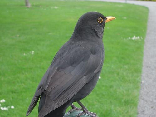 211012blackbird