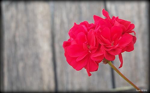 Geranium | Pelargonium