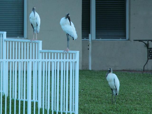 Wood Storks 2-20121023