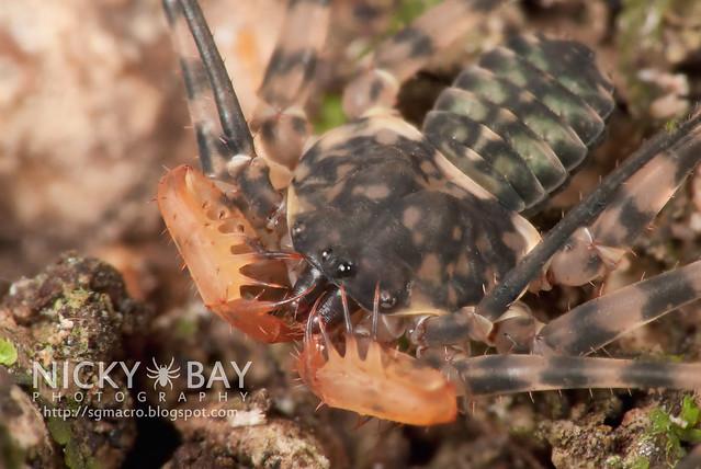 Tailless Whip Scorpion (Amblypygi) - DSC_0631