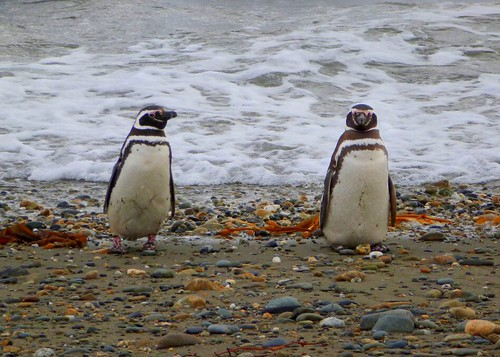 Magellan penguin couple by Germán Vogel