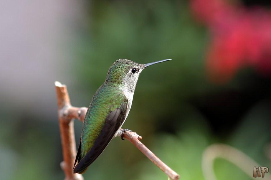 Anna's Hummingbird 102512-3
