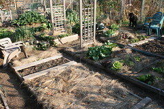 october vegetable garden plot 016