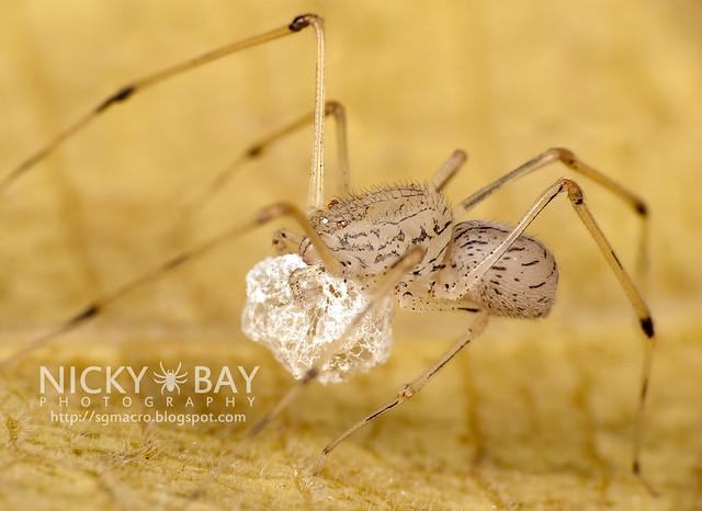 Spitting Spider (Scytodidae) - DSC_0132