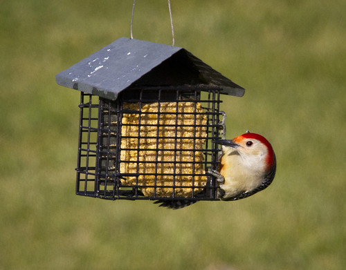 Red-Bellied Woodpecker at the Suet House by Ricky L. Jones Photography
