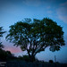 Tree in twilight