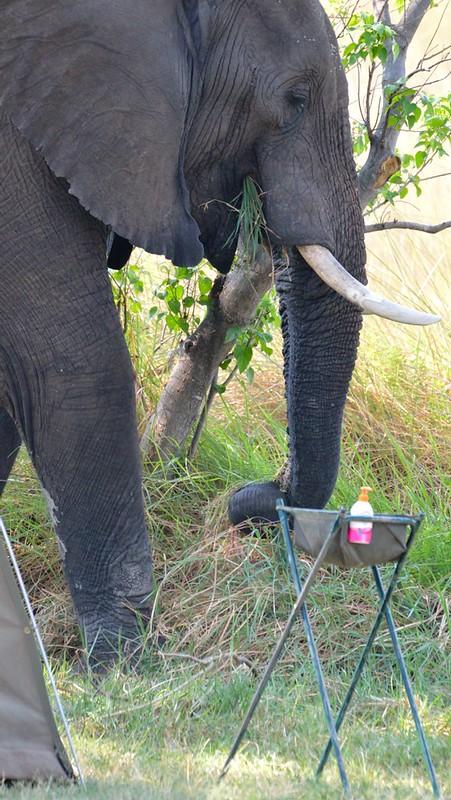 Elefant i lägret
