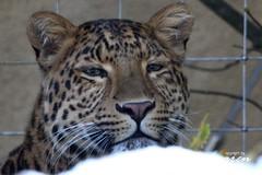 Chinesischer Leopard Julius - Portraits