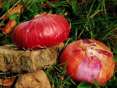 cipolla rossa di Pignone