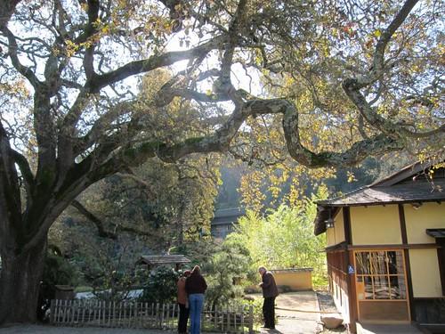 Hakone Japanese Gardens, Saratoga, CA, tree IMG_2304