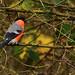 Eurasian Bullfinch by Zill Niazi