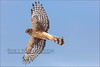 Northern Harrier 010913-4753-W.jpg by RobsWildlife.com © TheVestGuy.com