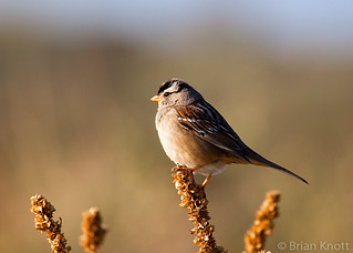 White-crowned Sparrow IMG_5835