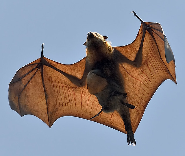 Baby Bat burden back again - Grey Headed Flying Fox. DSC ...