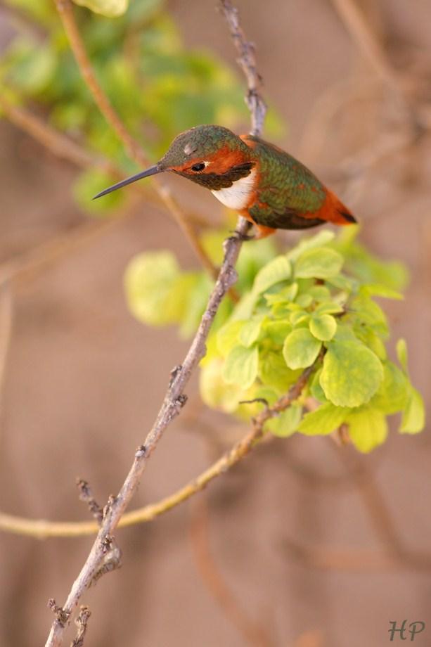 Allen's Hummingbird 011813-3