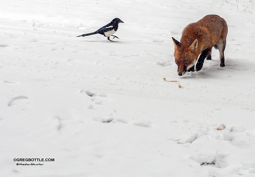 Magpie trying to steal Foxy's nuts