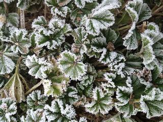 Frozen mallow