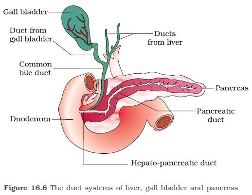 Ncert Class Xi Biology Chapter 16 Digestion And Absorption