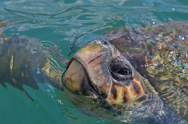 loggerhead turtle close up 2