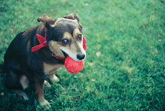 [Free Images] Animals (Mammals), Dogs, Ball ID:201302101000
