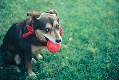 [フリー画像素材] 動物 (哺乳類), 犬・イヌ, ボール ID:201302101000